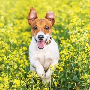What are hypoallergenic dogs?