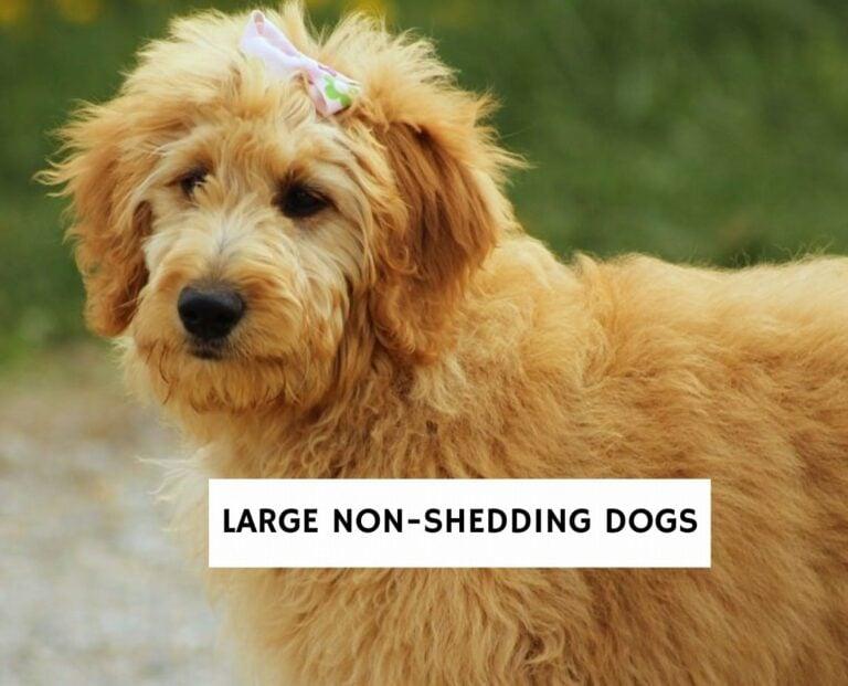 Large Non-Shedding Dogs