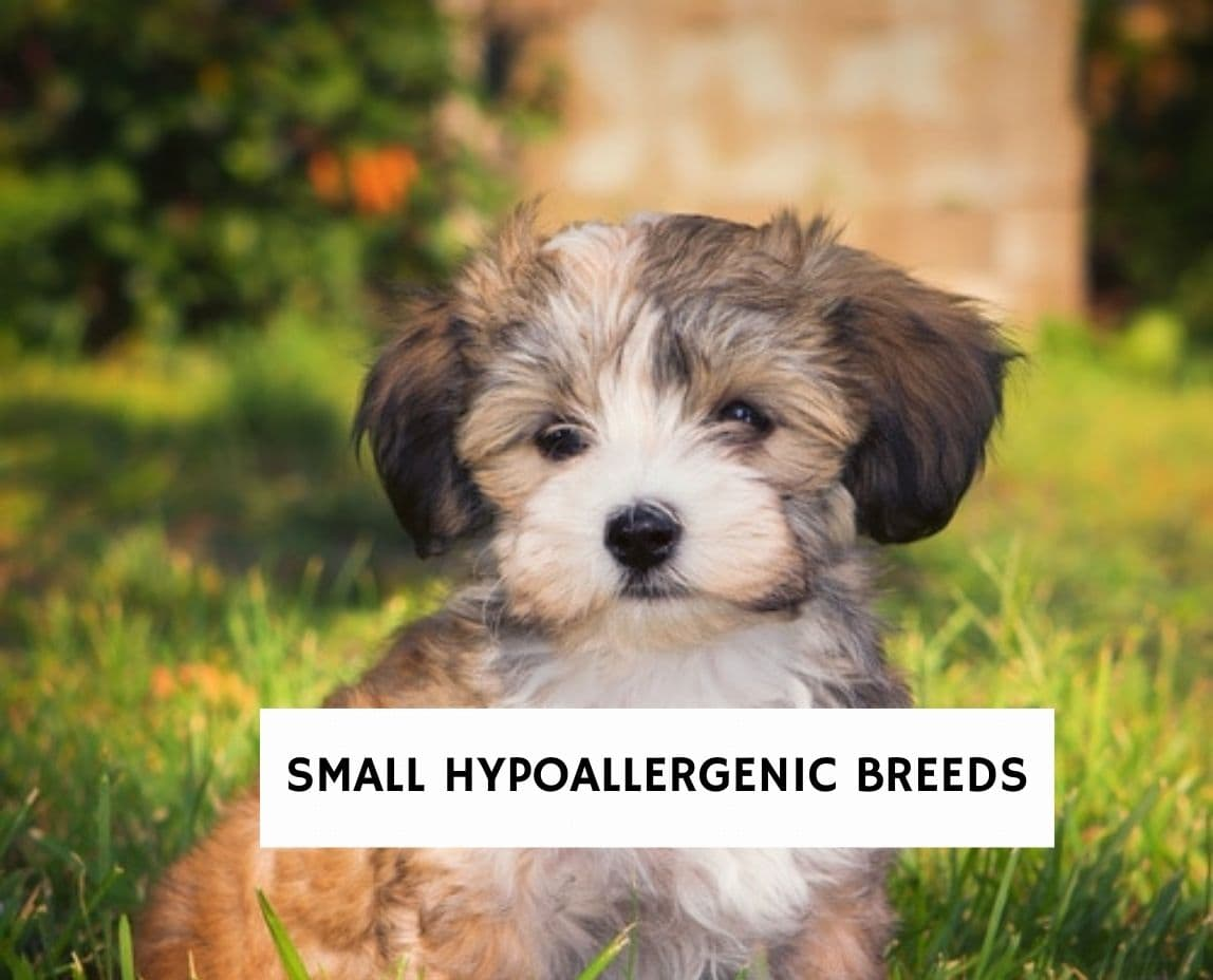 Small Hypoallergenic Breeds