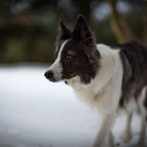 type of brush for border collie