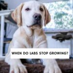 When do labs stop growing?