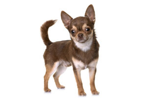 All About the Chihuahua
