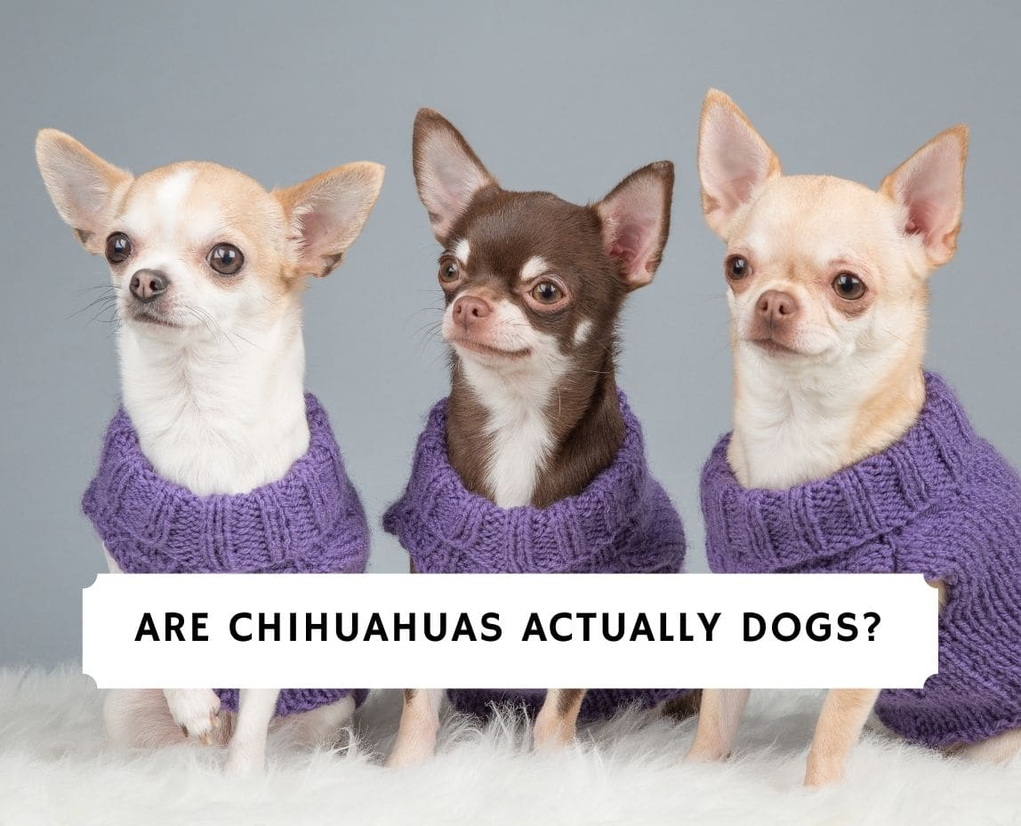 Are Chihuahuas Actually Dogs
