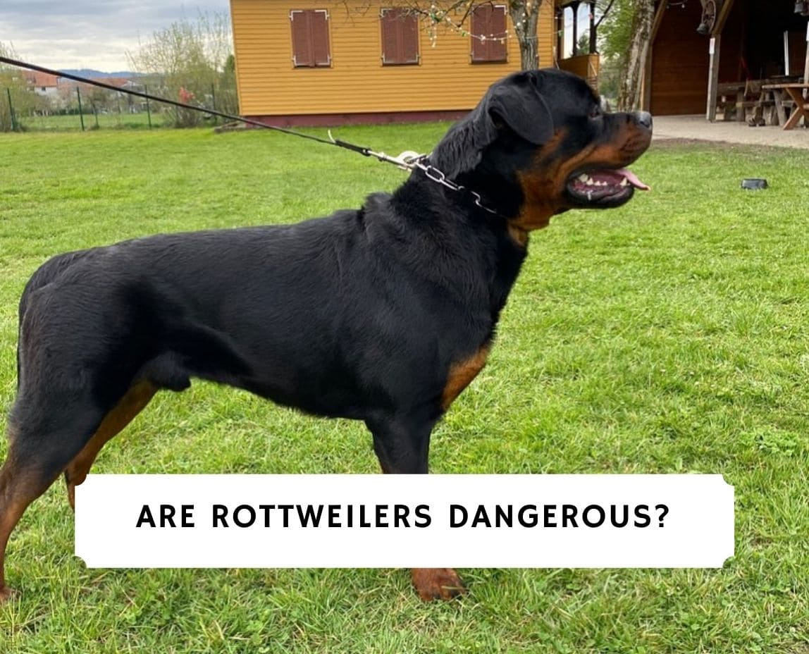 Are Rottweilers Dangerous_