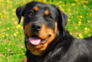 Conclusion For Are Rottweilers Good Dogs