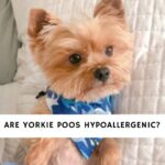 Are Yorkie Poos Hypoallergenic