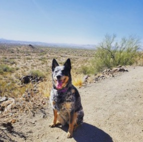 Australian Cattle Dog Breeders Puppies For Sale in the United States