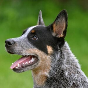 Conclusion For The Best Australian Cattle Dog Breeders USA