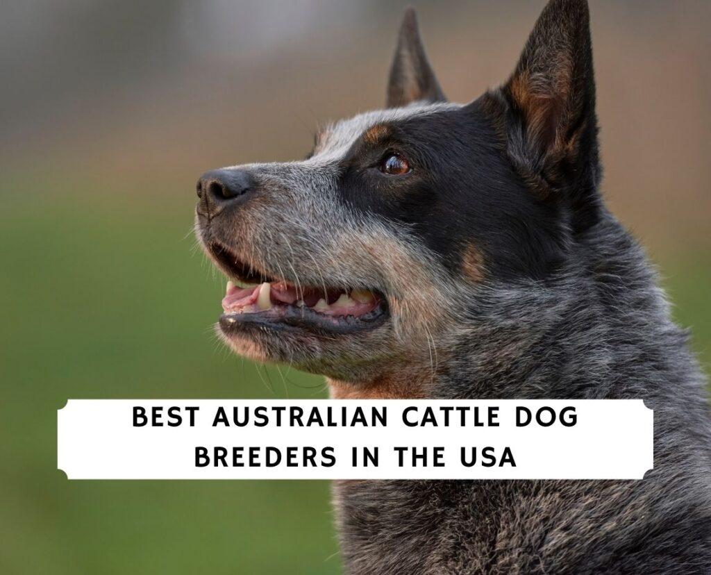 Australian Cattle Dog Breeders in the USA