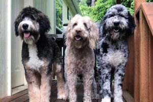 Conclusion For The Best Giant Doodle Breeds