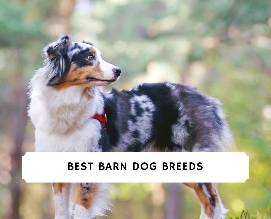 Barn Dog Breeds