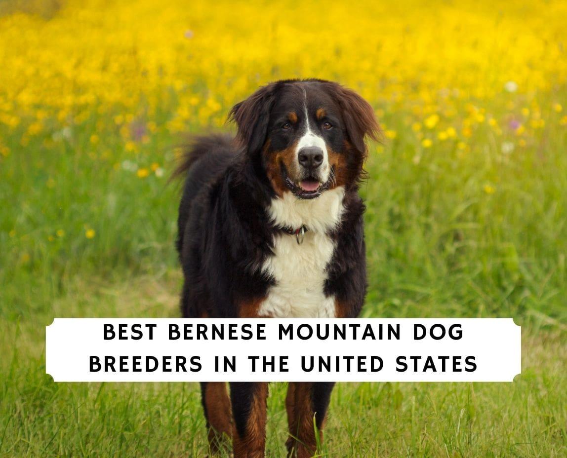 Bernese Mountain Dog Breeders
