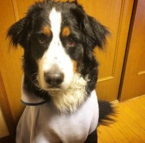 Bernese Mountain Puppies For Sale in the United States