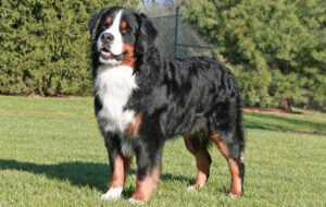 Conclusion For The Best Bernese Mountain Dog Breeders In The US