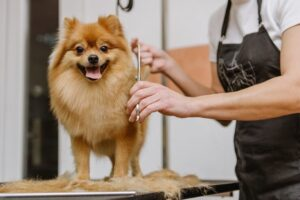 Best Practices for Taking Care of Your Pomeranian Coat