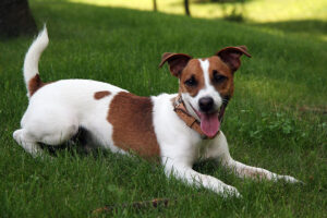 Best Rat Hunting Dogs