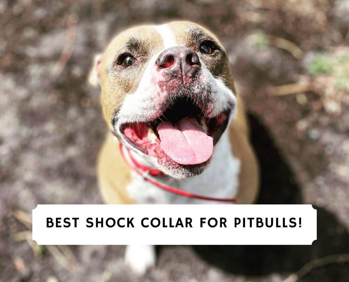 Best Shock Collar for Pitbulls