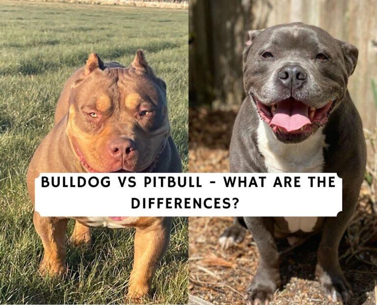 Bulldog vs Pitbull - What are the differences_