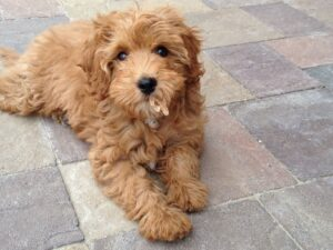 Cavapoochon Dog Breed Guide