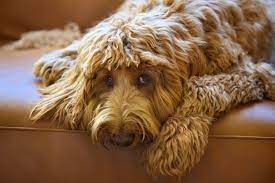 WHAT ARE THE COMMON HEALTH PROBLEMS THAT AFFECT LARGE DOODLE BREEDS?