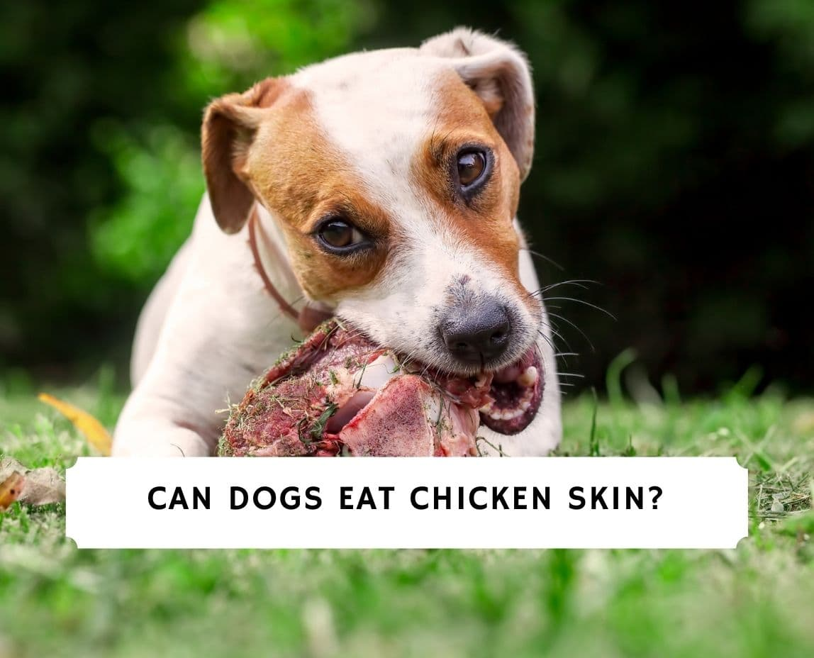 Can Dogs Eat Chicken Skin