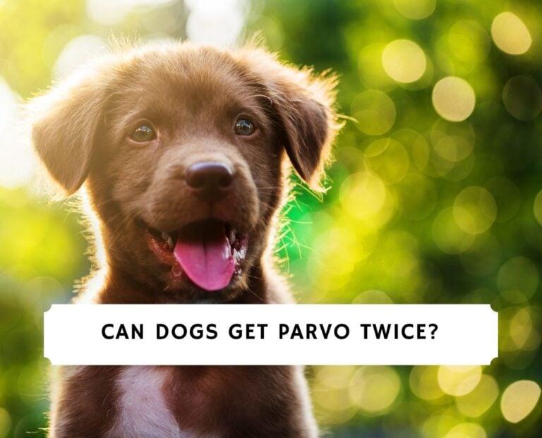 Can Dogs Get Parvo Twice