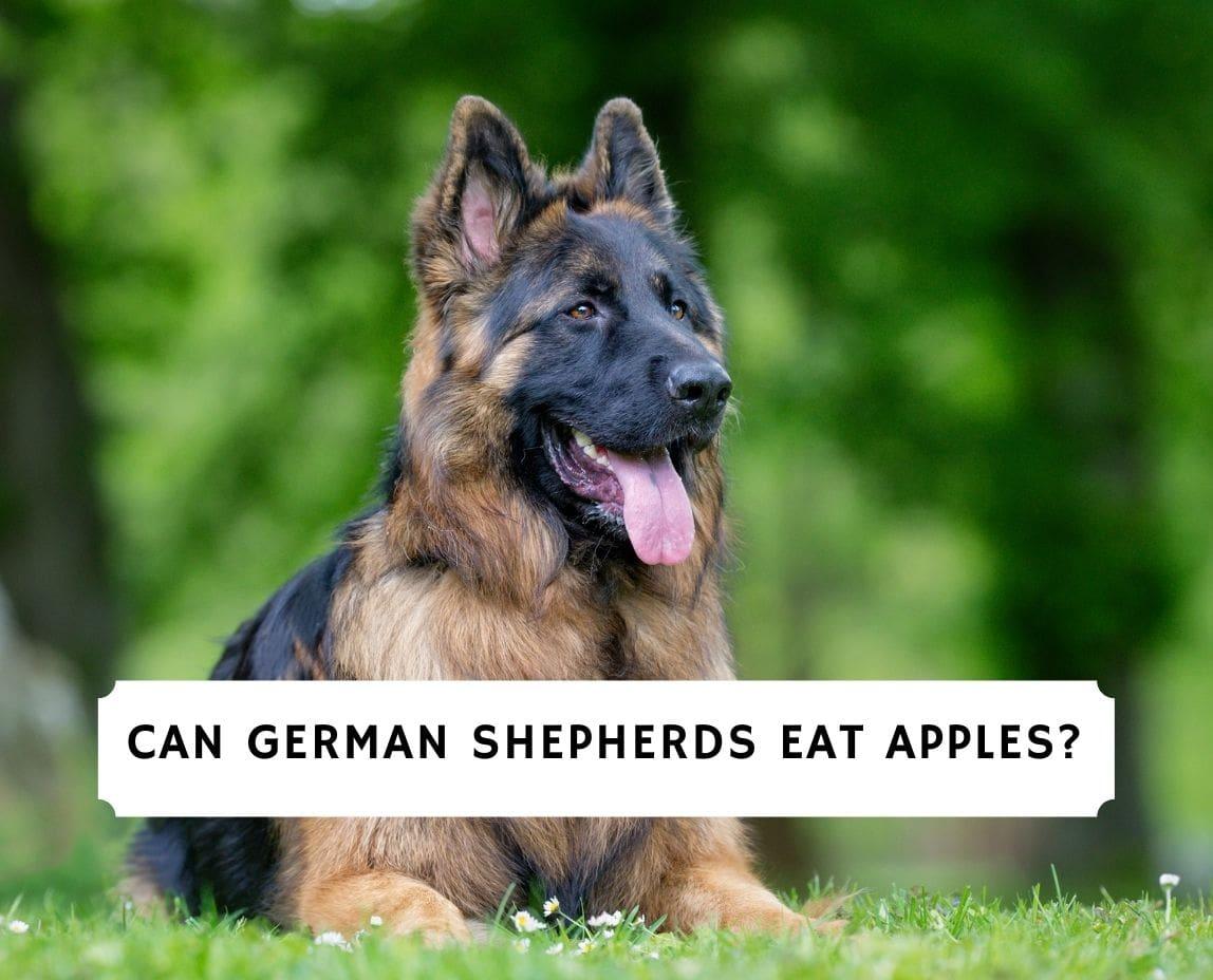 Can German Shepherds Eat Apples