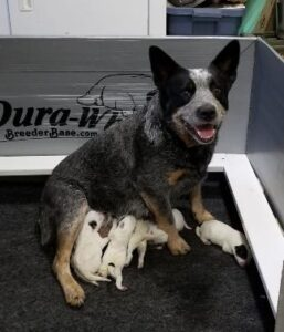 Caray Cattle Dogs