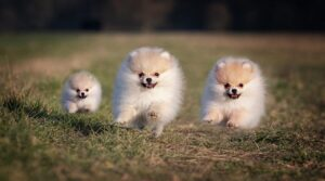 Care For your Pomeranian Coat
