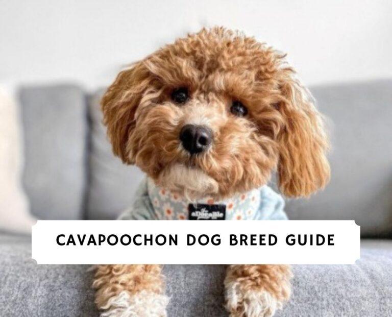 Cavapoochon