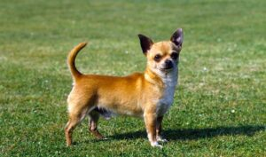 What is a Chihuahua?