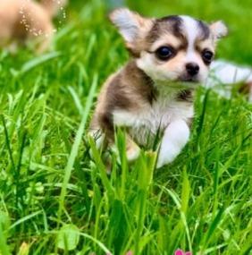 Chihuahua Husky Mix Care