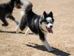 Chihuahua-Husky Mix: Temperament