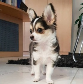 Chihuahua Husky Mix Training
