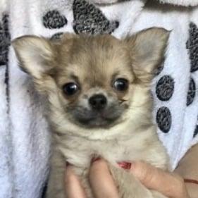 Chihuahuas & Rodents: Similar Appearances