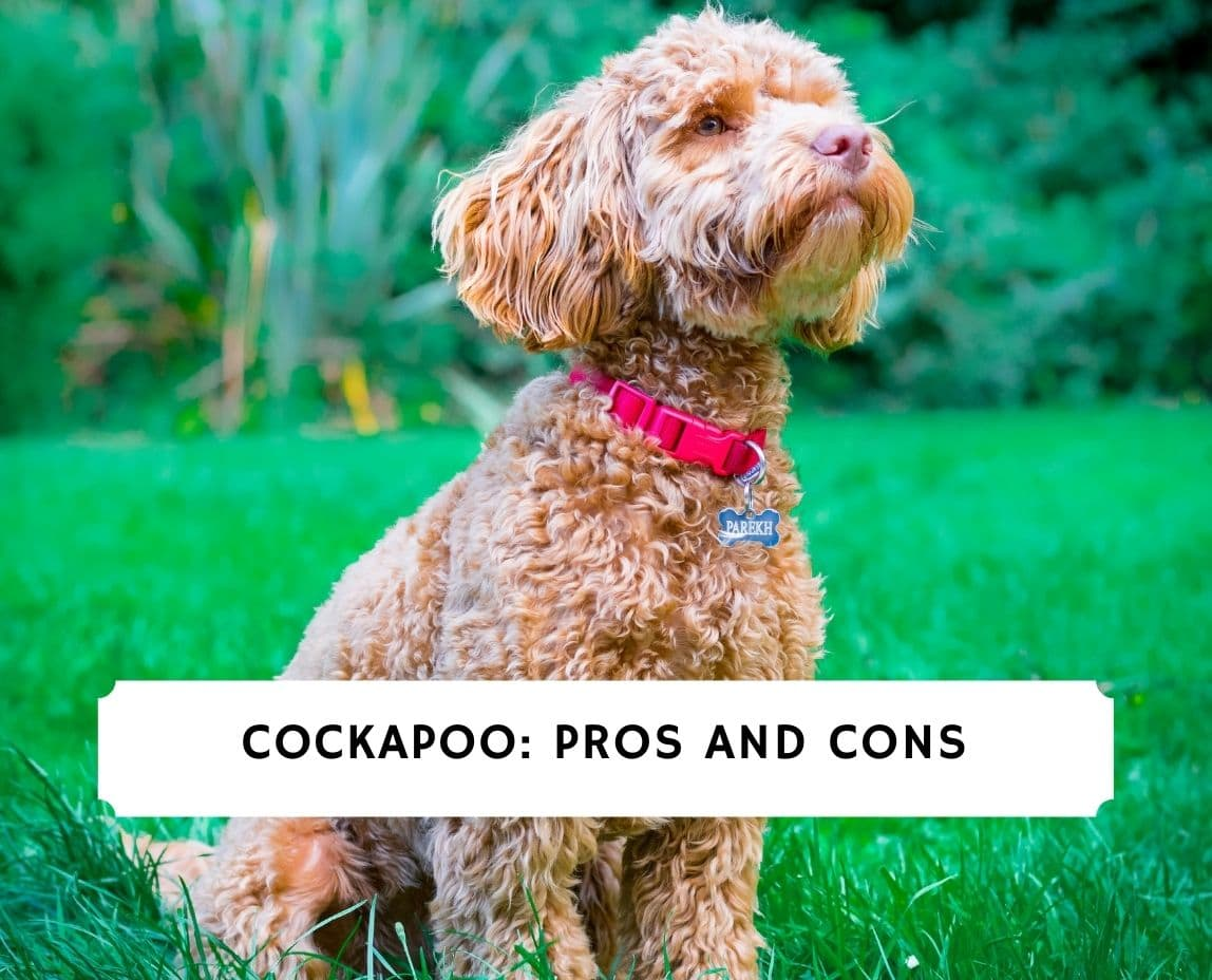 Cockapoo Pros and Cons