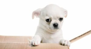 Common Health Problems in Chihuahuas