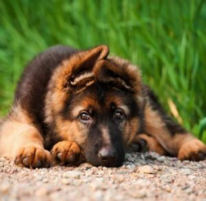 Common Intestinal Parasites and Worms in Puppies