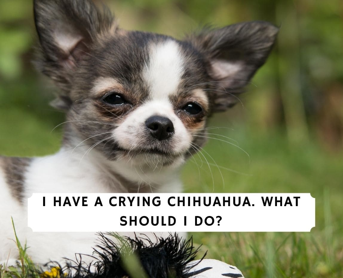 Crying Chihuahua