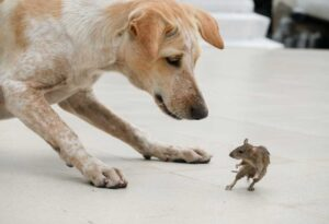 Danger: Rodent Diseases