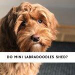 Do Mini Labradoodles Shed