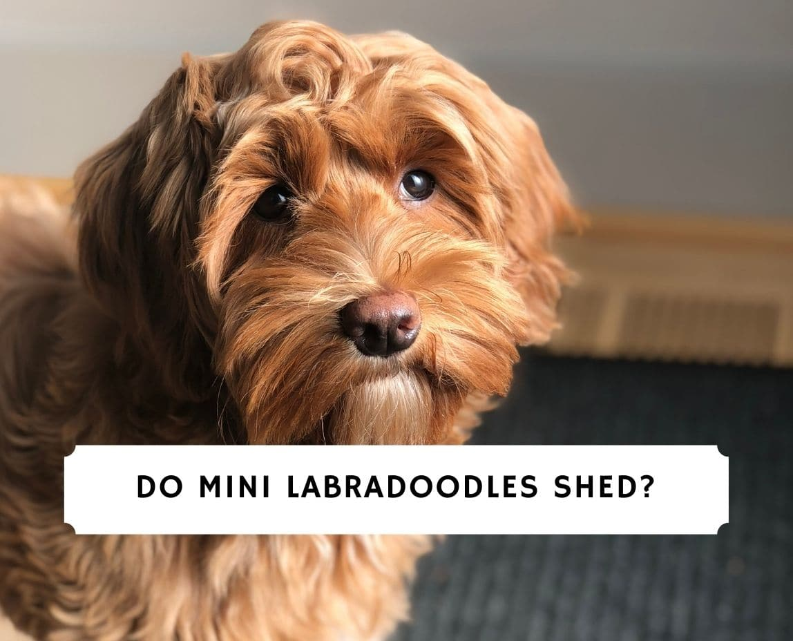 Do Mini Labradoodles Shed