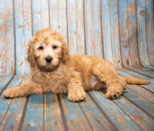 Question - Do Mini Labradoodles Shed