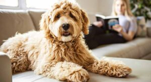 Conclusion For Do Mini Labradoodles Shed a Lot