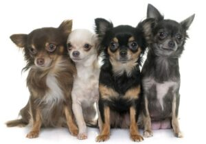 Don't Be Deceived: Chihuahuas Are In Fact Fully Canine