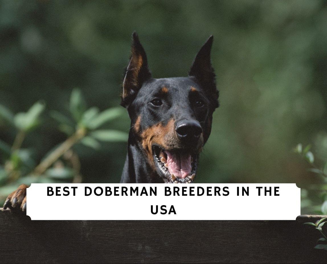 Doberman Breeders in the USA