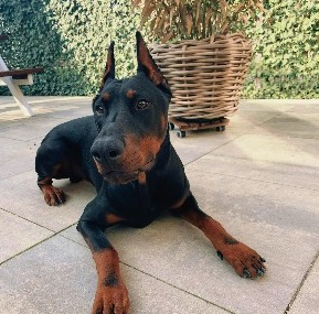 Doberman Puppies For Sale in the United States