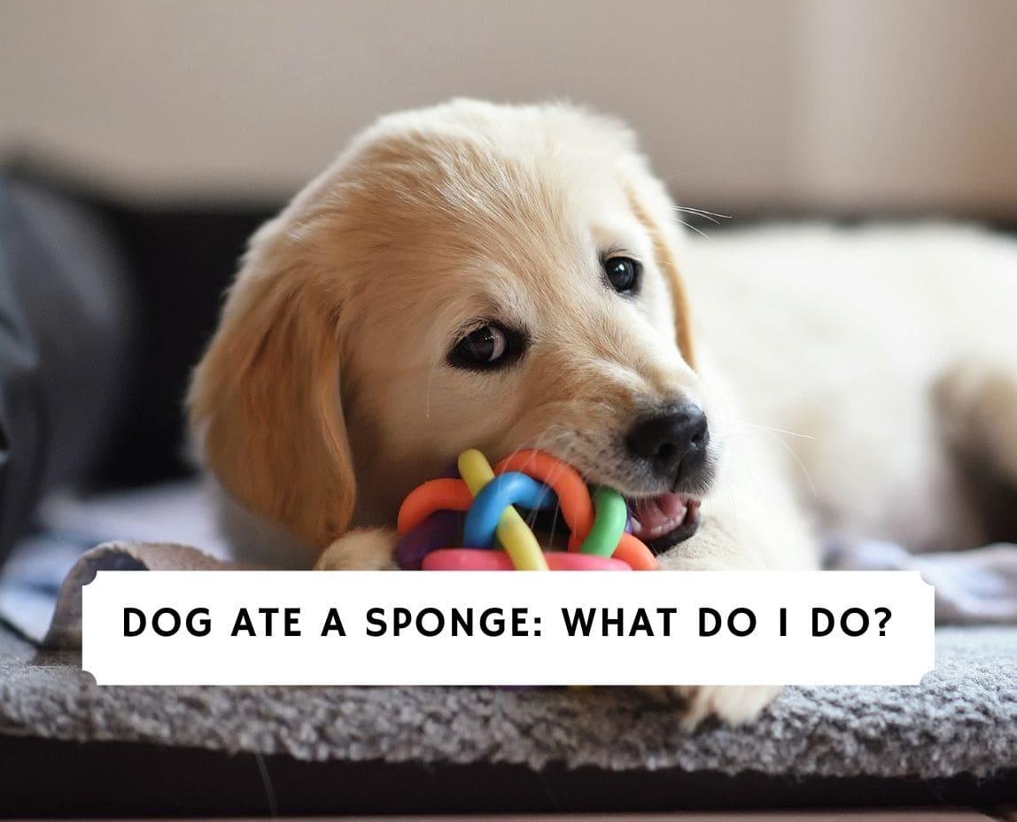 Dog Ate A Sponge