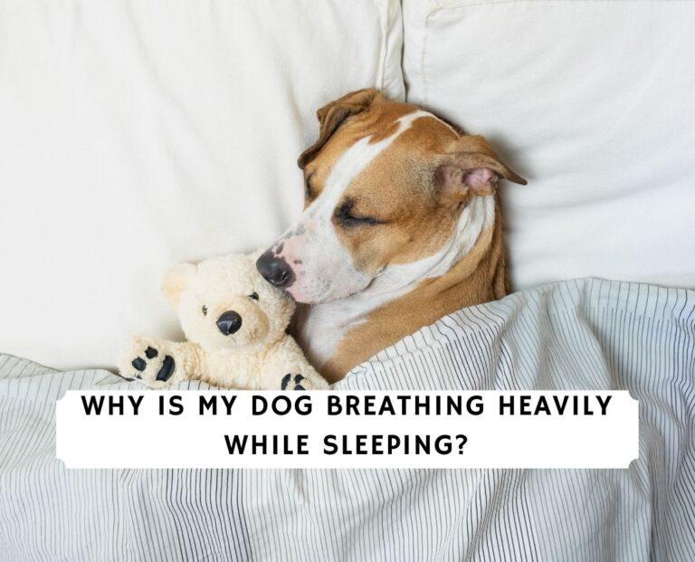 Dog Breathing Heavily While Sleeping