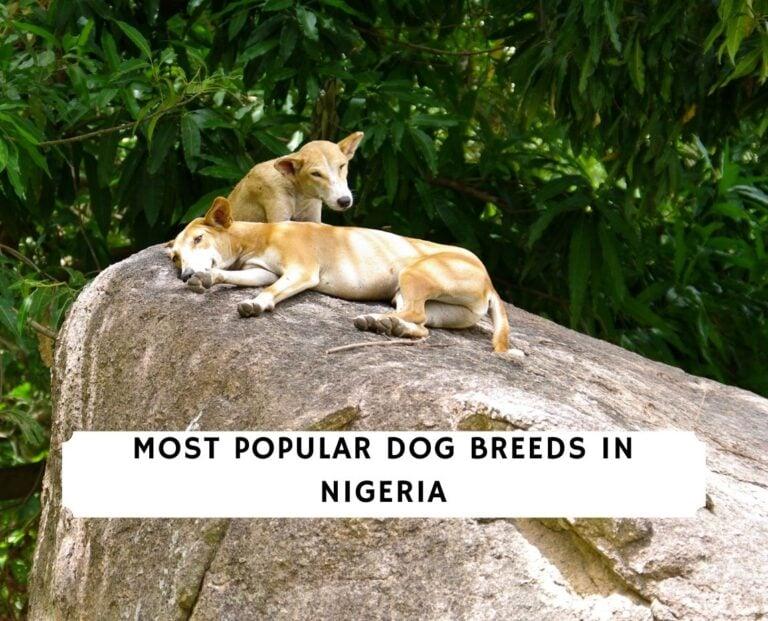 Dog Breeds in Nigeria